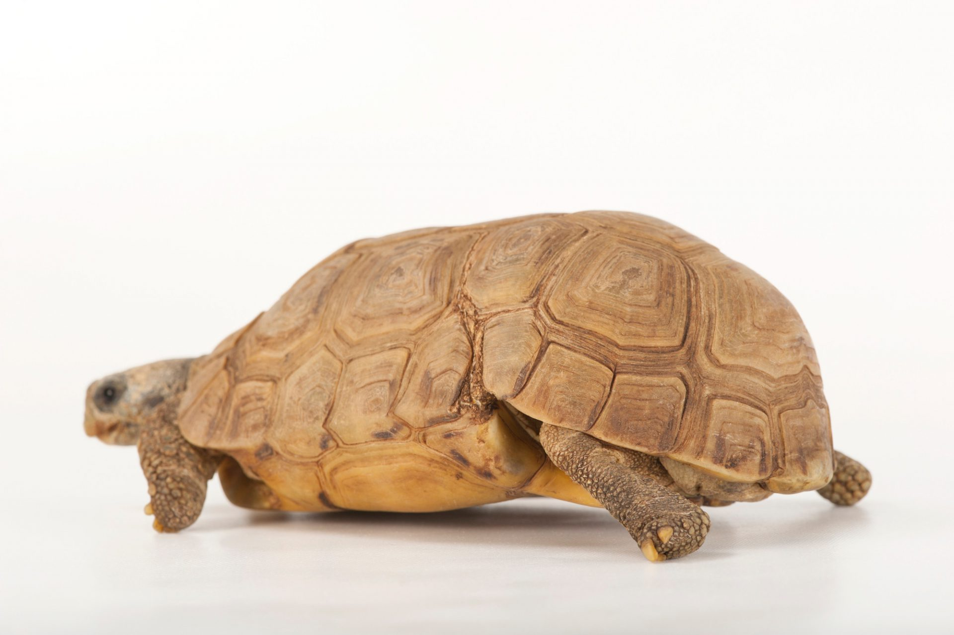 Picture of a Bell's hinge-back tortoise (Kinixys belliana belliana) at the Omaha Zoo.