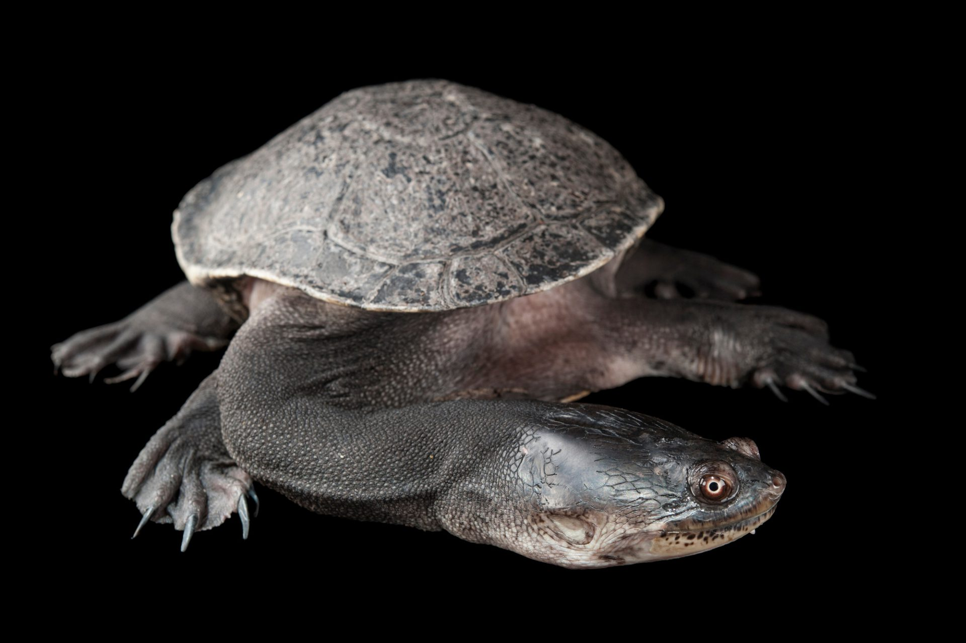 North Australian snake-necked turtle (Chelodina rugosa) at the Omaha Zoo.