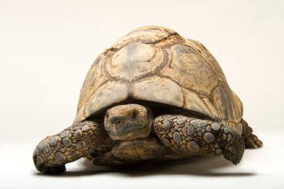 Photo: An eastern leopard tortoise (Stigmochelys pardalis babcocki) at the Caldwell Zoo in Tyler, Texas.