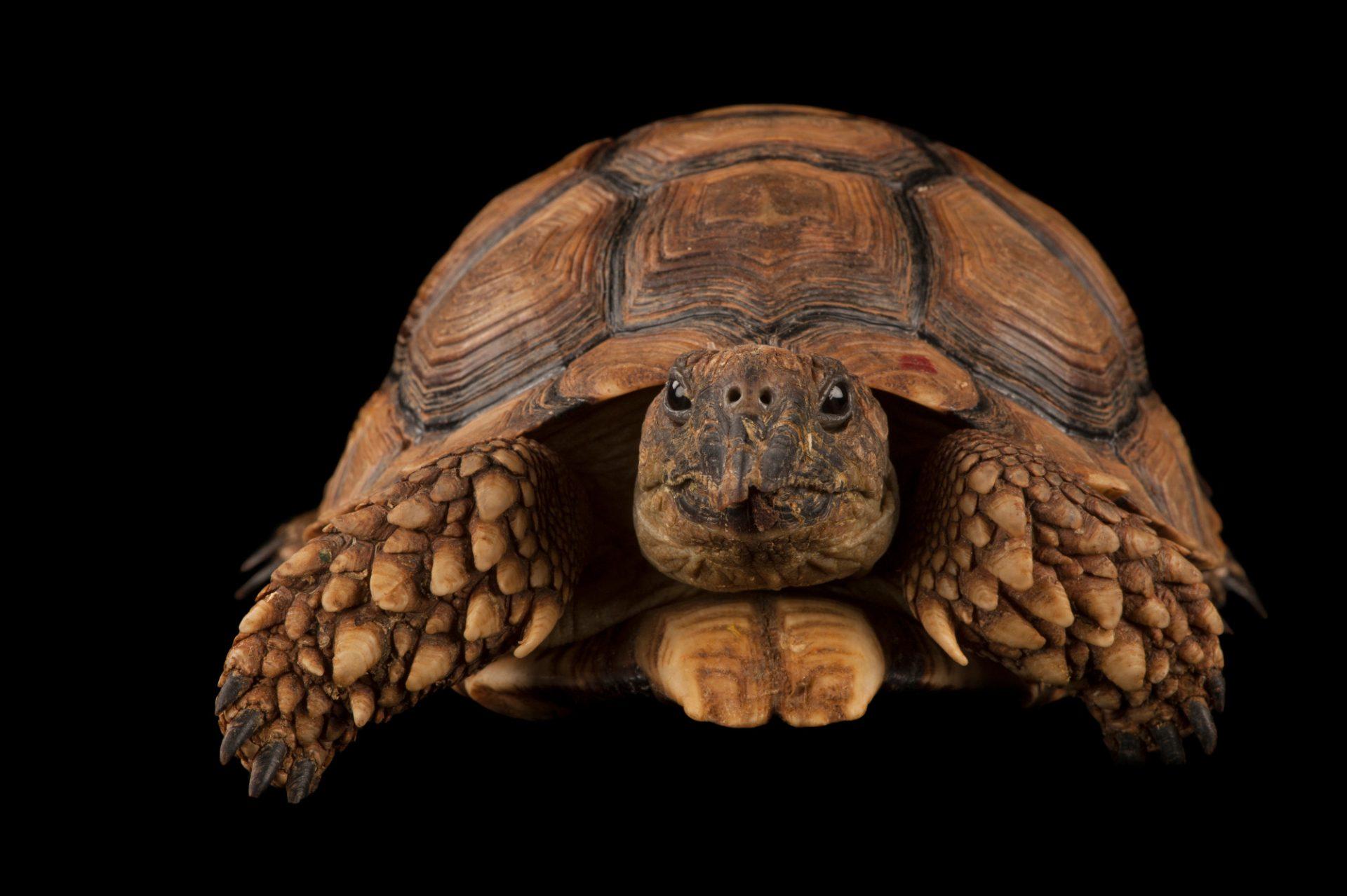 A chaco tortoise (Chelonoidis petersi) at Zoo Atlanta.