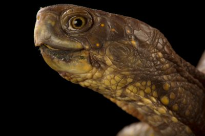 Photo: A three-toed box turtle from Bennet, Nebraska.