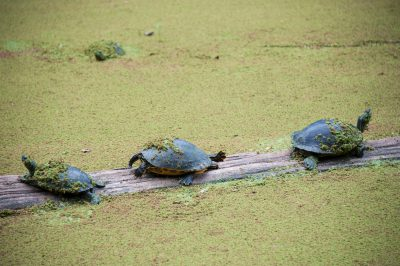 Photo: Turtles rest on a log at the Audubon Zoo, New Orleans, Louisiana.