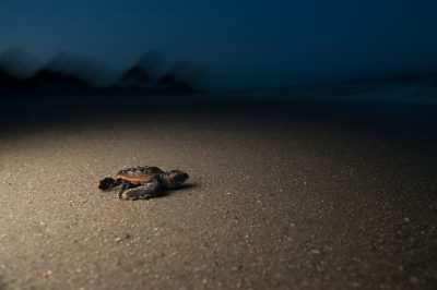 Photo: A loggerhead sea turtle hatchling heading out to sea towards a full moon, Sea Island, Georgia.