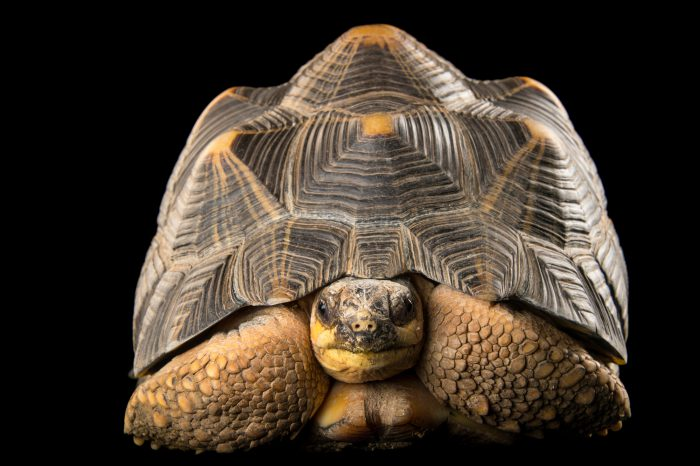 Picture of a critically endangered and federally endangered radiated tortoise (Astrochelys radiata) from the Indianapolis Zoo.