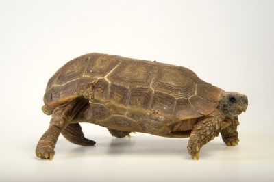 Picture of a Speke's hingback tortoise (Kinixys spekii) at the National Mississippi River Museum and Aquarium in Dubuque, Iowa.