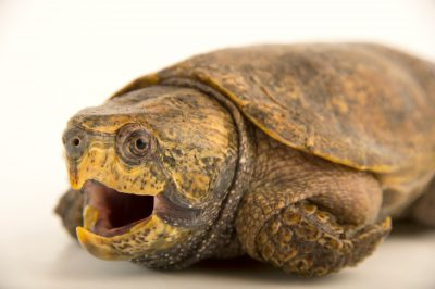 Picture of an endangered big-headed turtle (Platysternon megacephalum megacephalum) at the National Mississippi River Museum and Aquarium in Dubuque, Iowa.