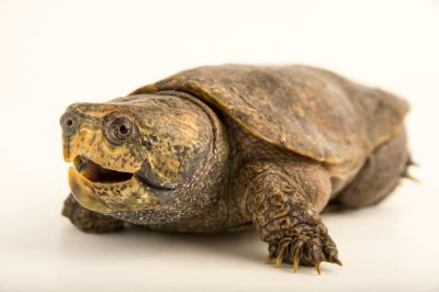 Picture of an endangered big-headed turtle (Platysternon megacephalum megacephalum) at the National Mississippi River Museum and Aquarium in Dubuque, Iowa.