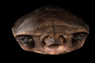 Photo: Aubry's flapshell turtle (Cycloderma aubryi) at the National Mississippi River Museum and Aquarium in Dubuque, Iowa.