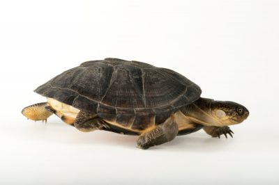 Picture of an African dwarf mud turtle (Pelusios nanus) at the National Mississippi River Museum and Aquarium in Dubuque, Iowa.