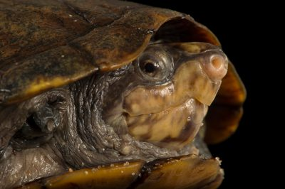 Picture of a scorpion mud turtle (Kinosternon scorpioides) at the National Mississippi River Museum and Aquarium in Dubuque, Iowa.