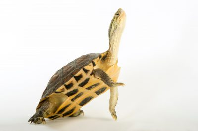 Picture of an endangered yellow pond turtle (Mauremys mutica) at the National Mississippi River Museum and Aquarium in Dubuque, Iowa.