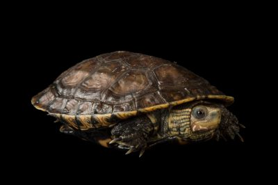 Picture of a Caspian pond turtle (Mauremys caspica) at the National Mississippi River Museum and Aquarium in Dubuque, Iowa.