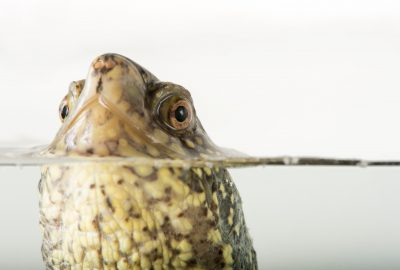Picture of a European pond turtle (Emys orbicularis) at the National Mississippi River Museum and Aquarium in Dubuque, Iowa.