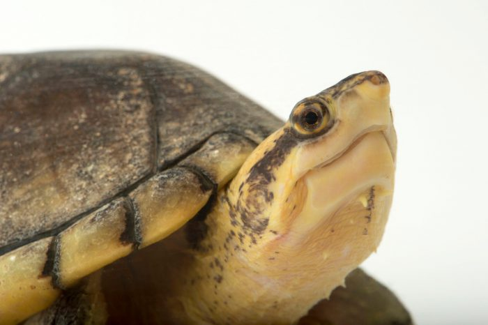 Picture of a Northern white-lipped mud turtle (Kinosternon leucostomum leucostomum) at the National Mississippi River Museum and Aquarium in Dubuque, Iowa.