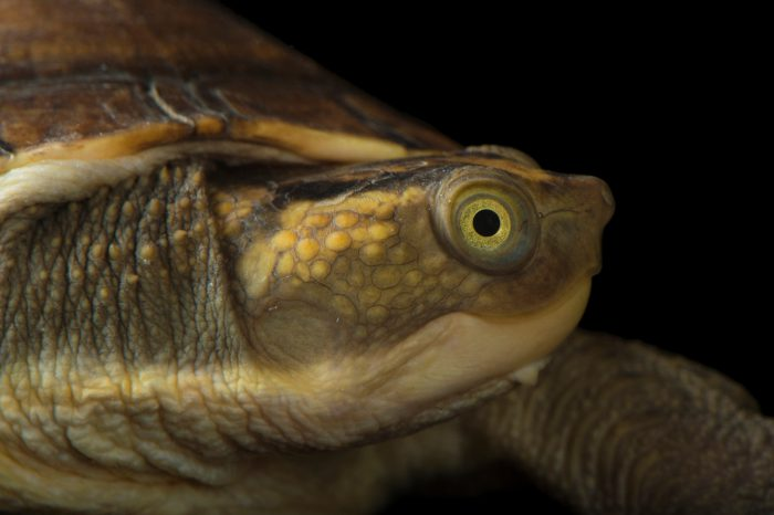 New Guinea snapping turtle (Elseya novaeguineae) at the National Mississippi River Museum and Aquarium in Dubuque, Iowa.