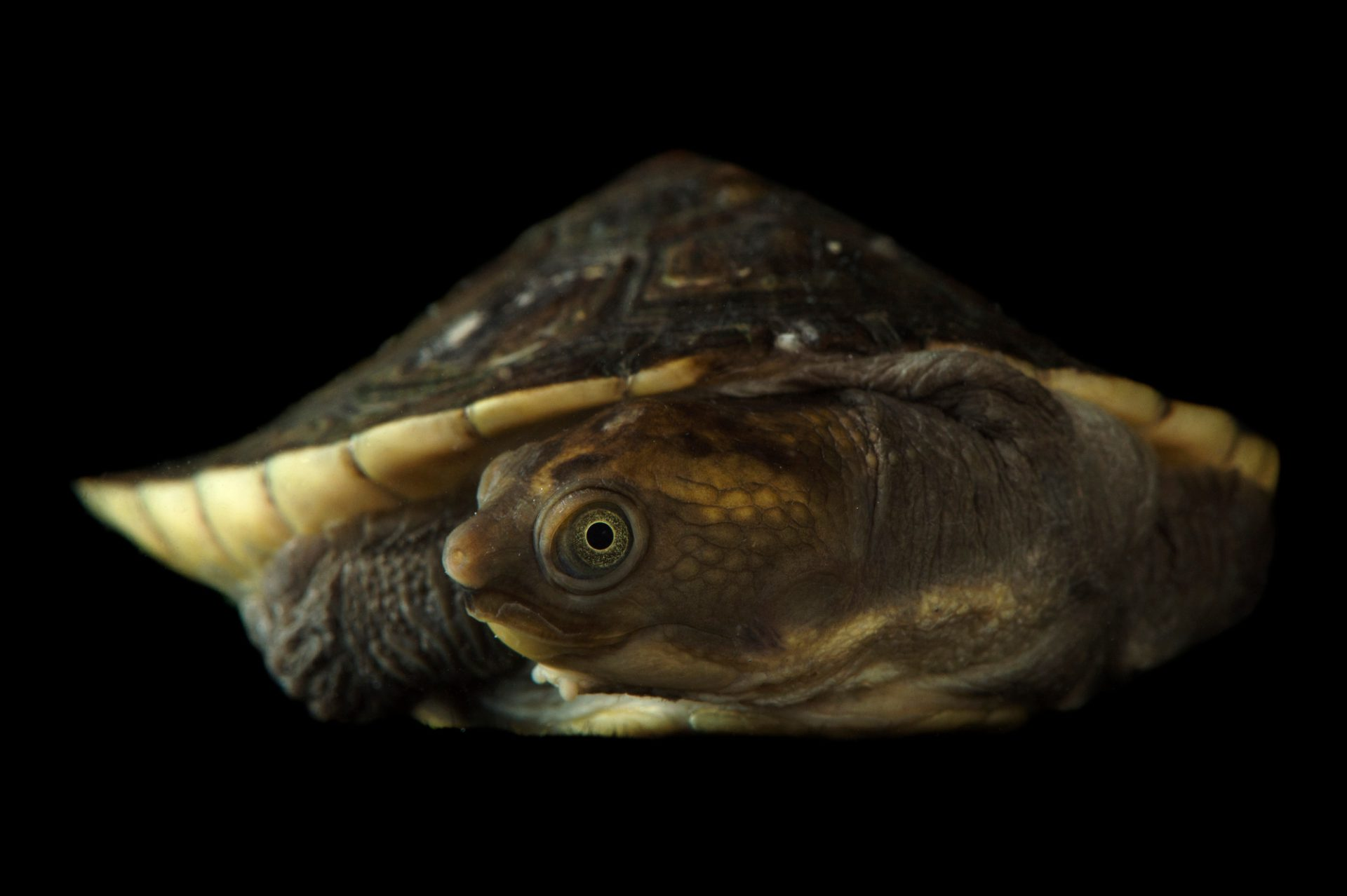 Picture of a Murray River turtle (Emydura macquarii) at the National Mississippi River Museum and Aquarium in Dubuque, Iowa.