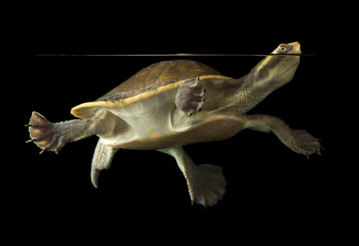 Picture of a yellow-faced turtle (Emydura tanybaraga) at the National Mississippi River Museum and Aquarium in Dubuque, Iowa.