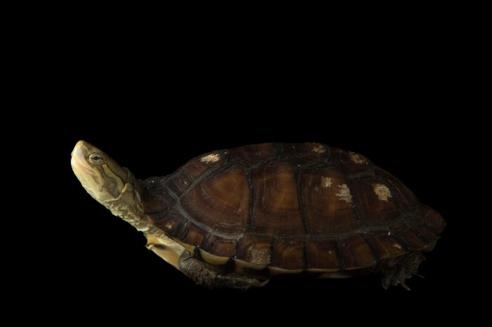 Picture of an endangered yellow pond turtle (Mauremys mutica) at the National Mississippi River Museum and Aquarium in Dubuque, Iowa