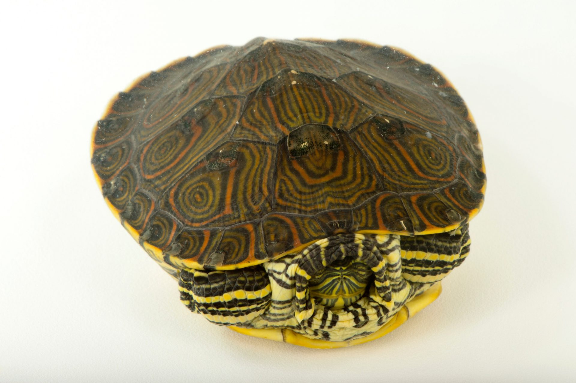 Picture of a Nicaraguan slider (Trachemys emolli) at the National Mississippi River Museum and Aquarium in Dubuque, Iowa.