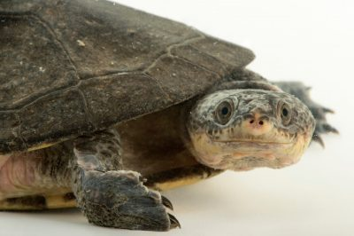 Picture of a common toad-headed turtle (Mesoclemmys nasuta) at the National Mississippi River Museum and Aquarium in Dubuque, Iowa.