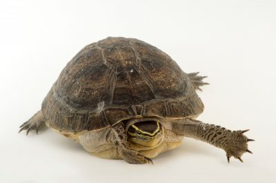 Picture of a vulnerable Malayan box turtle (Cuora amboinensis) at the National Mississippi River Museum and Aquarium in Dubuque, Iowa.