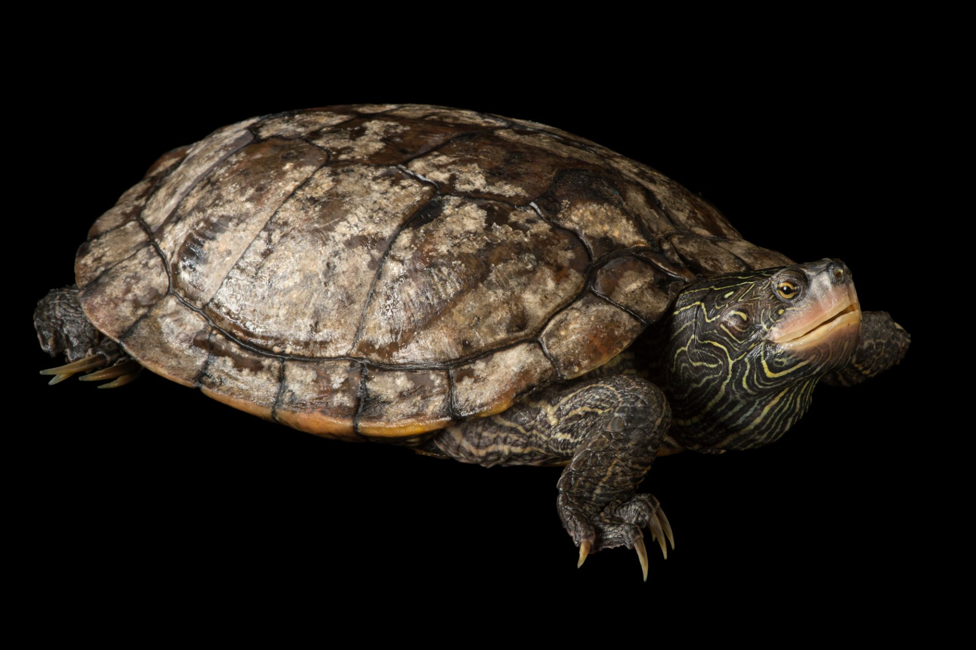 Picture of a false map turtle (Graptemys pseudogeographica) at the National Mississippi River Museum and Aquarium in Dubuque, Iowa.