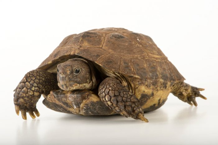 Picture of a vulnerable Spur-thighed tortoise (Testudo graeca) at the National Mississippi River Museum and Aquarium in Dubuque, Iowa.