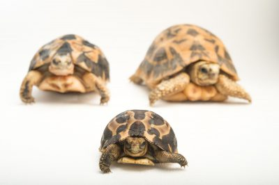 Picture of critically endangered spider tortoises (Pyxis arachnoides arachnoides) in three phases of life (newborn, subadult and adult) at the Fort Worth Zoo.
