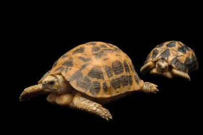 Picture of a critically endangered newborn and adult spider tortoise (Pyxis arachnoides arachnoides) at the Fort Worth Zoo.