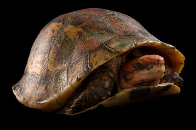 Picture of a critically endangered Bourret's box turtle (Cuora bourreti) from the Cuc Phuong Turtle Conservation Center in Vietnam.