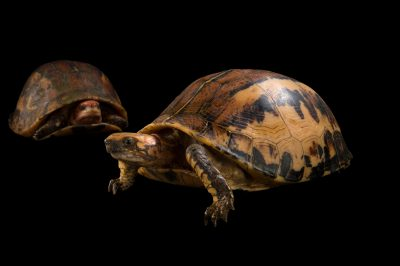 Picture of two critically endangered Bourret's box turtle (Cuora bourreti) from the Cuc Phuong Turtle Conservation Center in Vietnam.