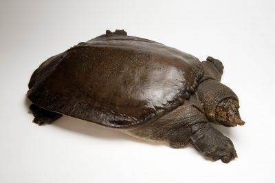 Picture of a vulnerable Southeast Asian softshell turtle (Amyda cartilaginea) from the Cuc Phuong Turtle Conservation Center, Vietnam.