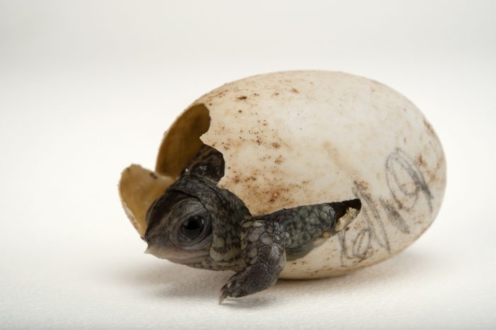 An endangered (IUCN) and federally endangered aquatic box turtle (Terrapene coahuila) hatchling at the Gladys Porter Zoo in Brownsville, Texas.