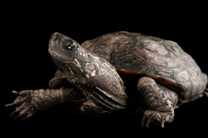 An endangered Chinese pond turtle (Mauremys reevesii) at the Columbus Zoo, Columbus, Ohio.