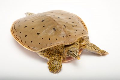 A spiny softshell turtle (Apalone spinifera) at the Audubon Zoo in New Orleans, Louisiana.