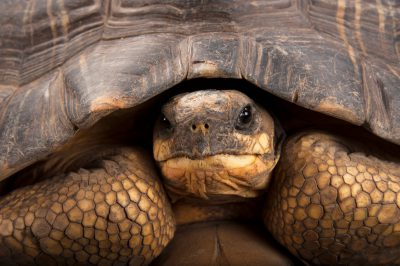 A critically endangered (IUCN) and federally endangered radiated tortoise (Astrochelys radiata) at the Miller Park Zoo in Bloomington, Illinois.