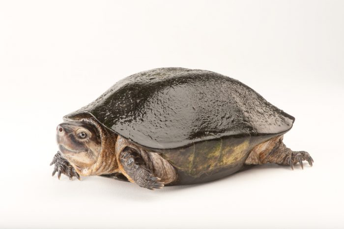 A vulnerable black marsh turtle (Siebenrockiella crassicollis) in a private collection in Houston, Texas.