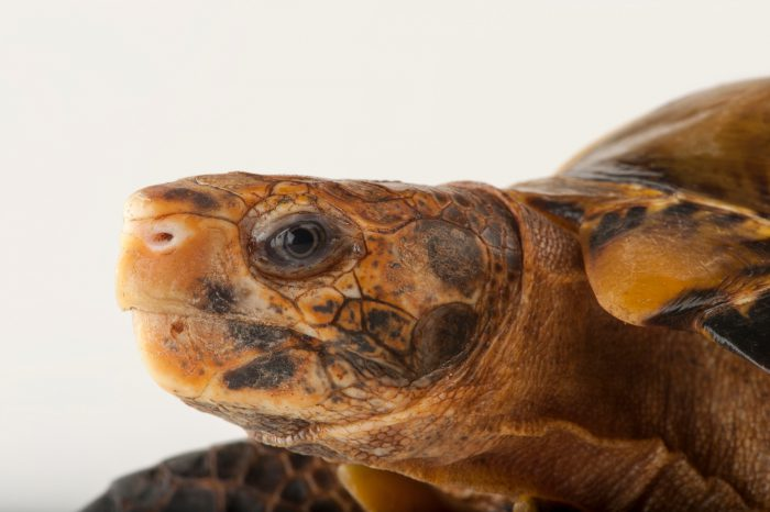 A forest hinge-back tortoise (Kinixys erosa) in a private collection in Houston, Texas.
