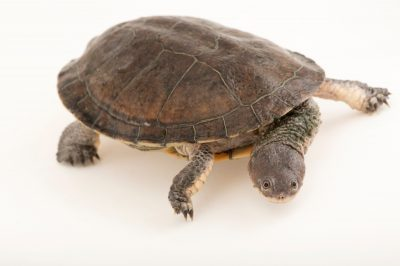 Picture of a vulnerable Chaco side-necked turtle (Acanthochelys pallidipectoris) at the Tulsa Zoo.