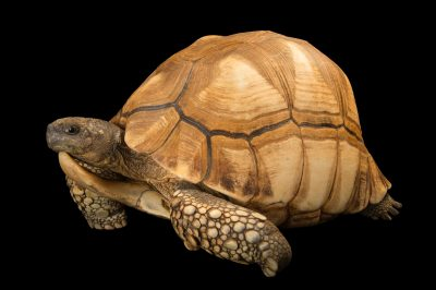Picture of a critically endangered, male ploughshare tortoise (Astrochelys yniphora) at the Turtle Conservancy.