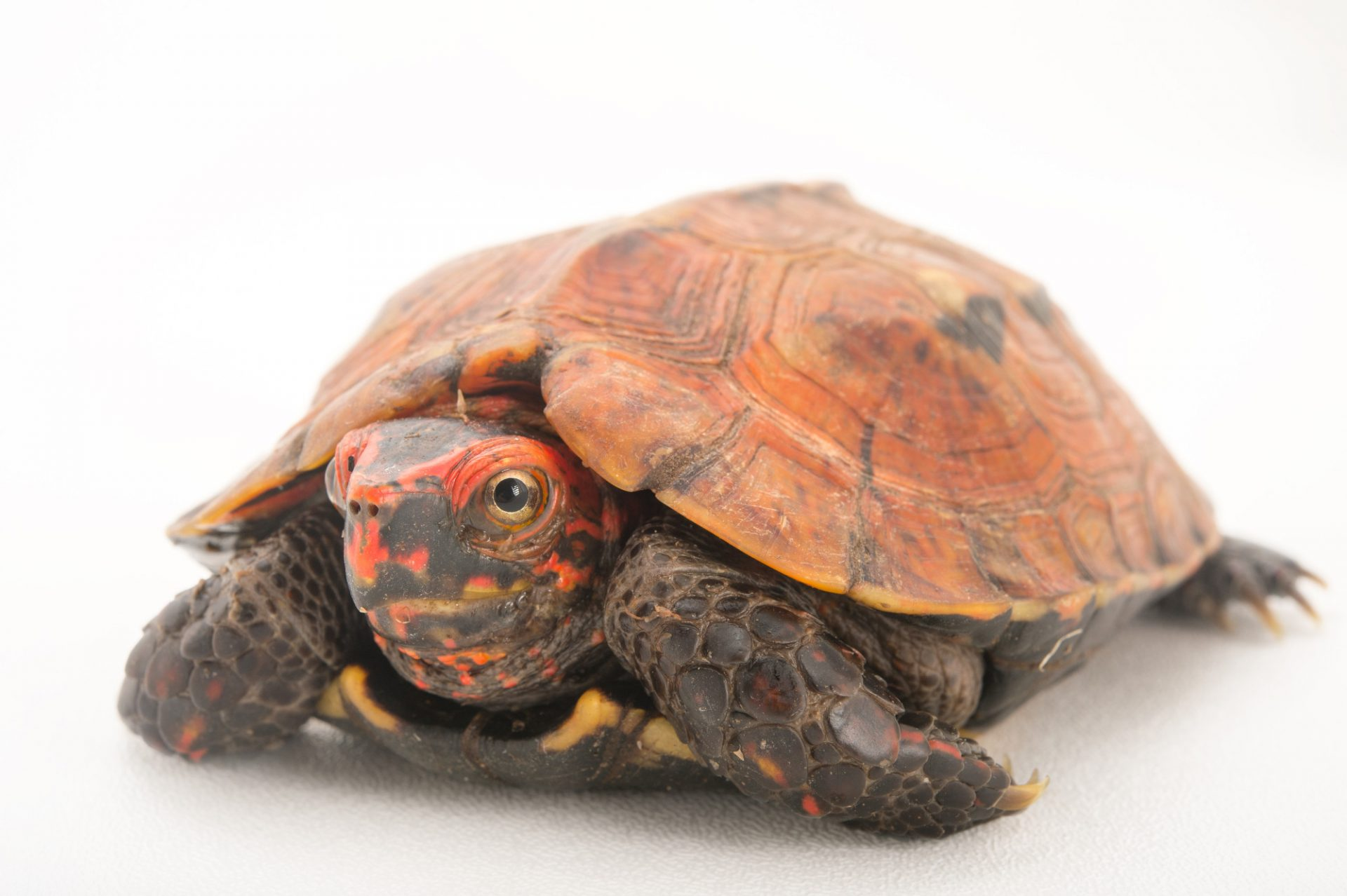 Picture of an endangered, male Okinawa black-breasted leaf turtle, Geoemyda japonica, at the Turtle Conservancy.