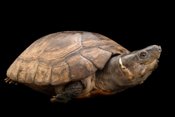 Picture of a critically endangered Palawan Island forest turtle (Siebenrockiella leytensis) at the Turtle Conservancy.