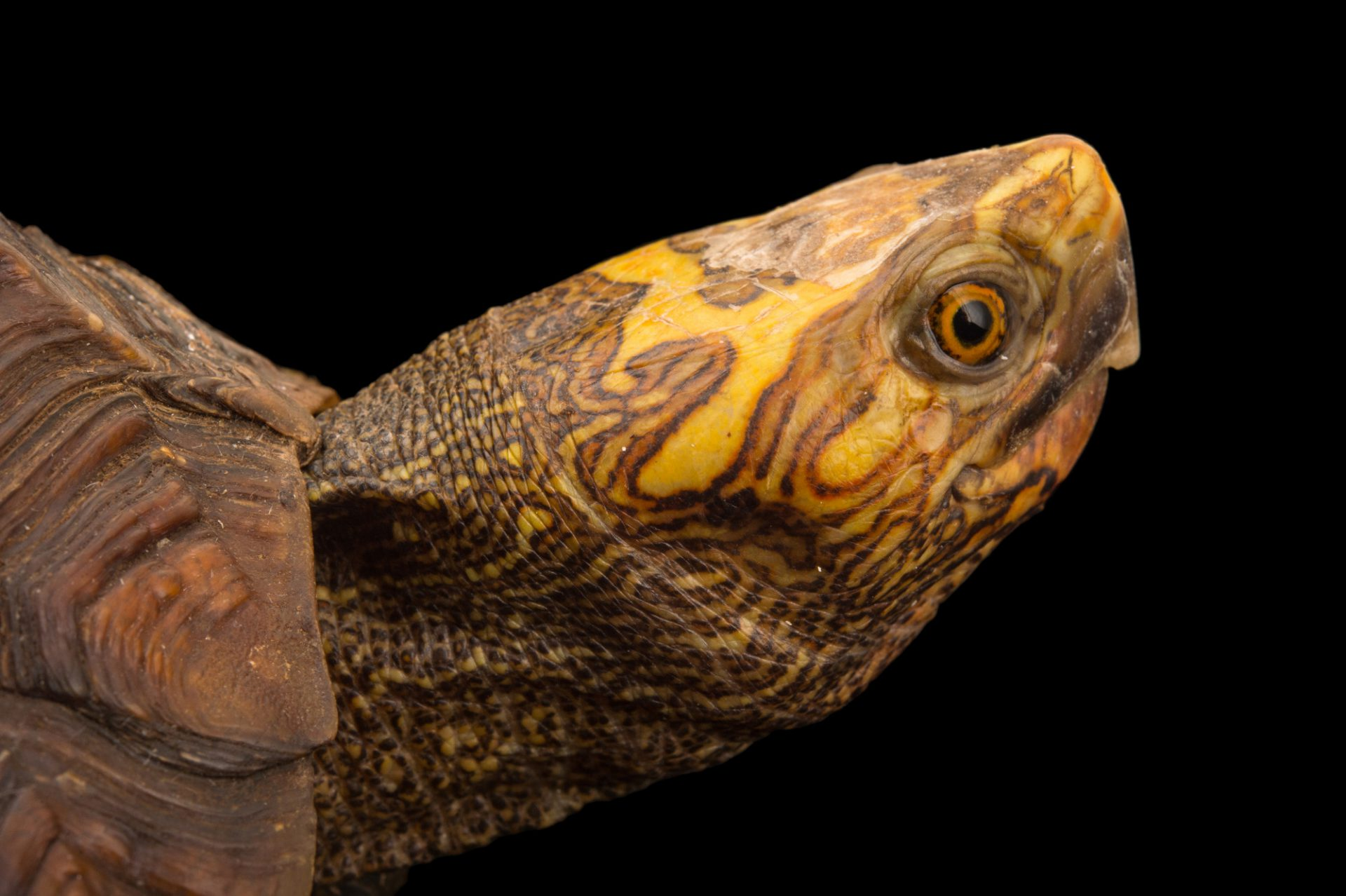 Picture of a Mexican spotted wood turtle (Rhinoclemmys rubida rubida) at the Turtle Conservancy.