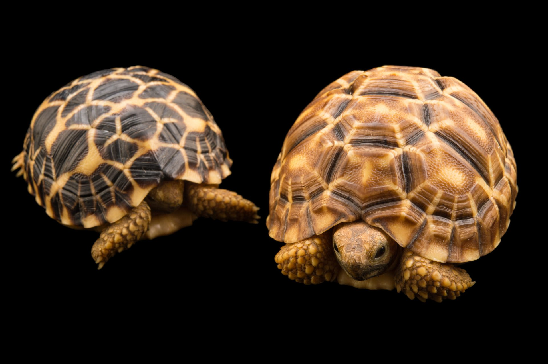 Picture of critically endangered, yearling Burmese star tortoises (Geochelone platynota) at the Turtle Conservancy.