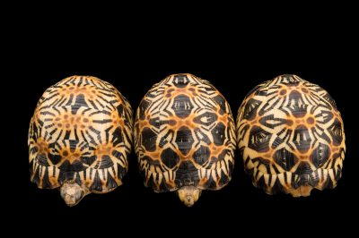 Picture of critically endangered and federally endangered, yearling radiated tortoises (Astrochelys radiata) at the Turtle Conservancy.