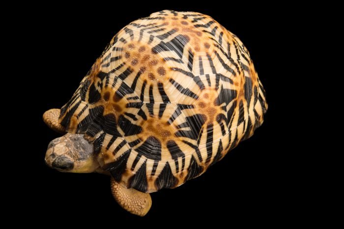 Picture of a critically endangered and federally endangered, yearling radiated tortoise (Astrochelys radiata) at the Turtle Conservancy.