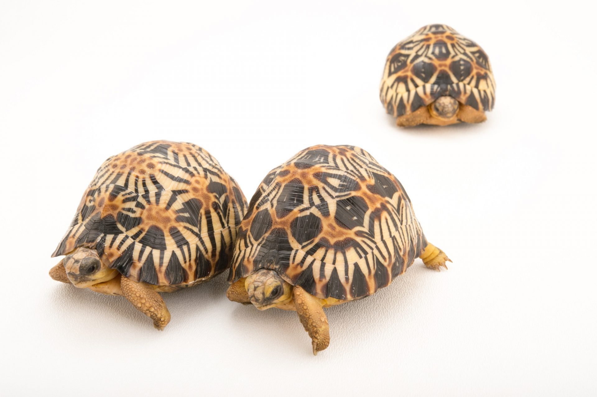 Picture of critically endangered and federally endangered, yearling radiated tortoises (Astrochelys radiata) at the Turtle Conservancy