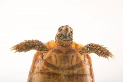 Picture of a common padloper tortoise (Homopus areolatus) at the Turtle Conservancy.