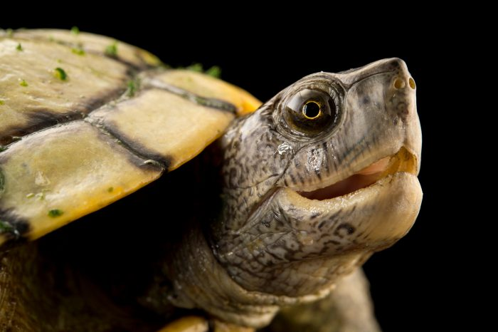 Picture of a Cuban slider (Trachemys decussata) at the National Botanical Garden in Santo Domingo, Dominican Republic.