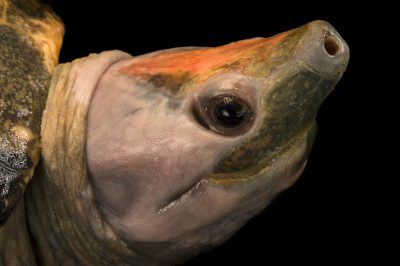 Picture of a critically endangered Malaysian river painted terrapin (Batagur borneoensis) at Omaha's Henry Doorly Zoo.